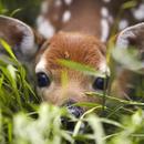 泉水鹿 圖像