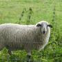 羊ㄇㄟ ㄇㄟ