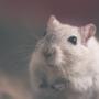 鼠倪/薯泥