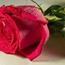 玫瑰與咖啡